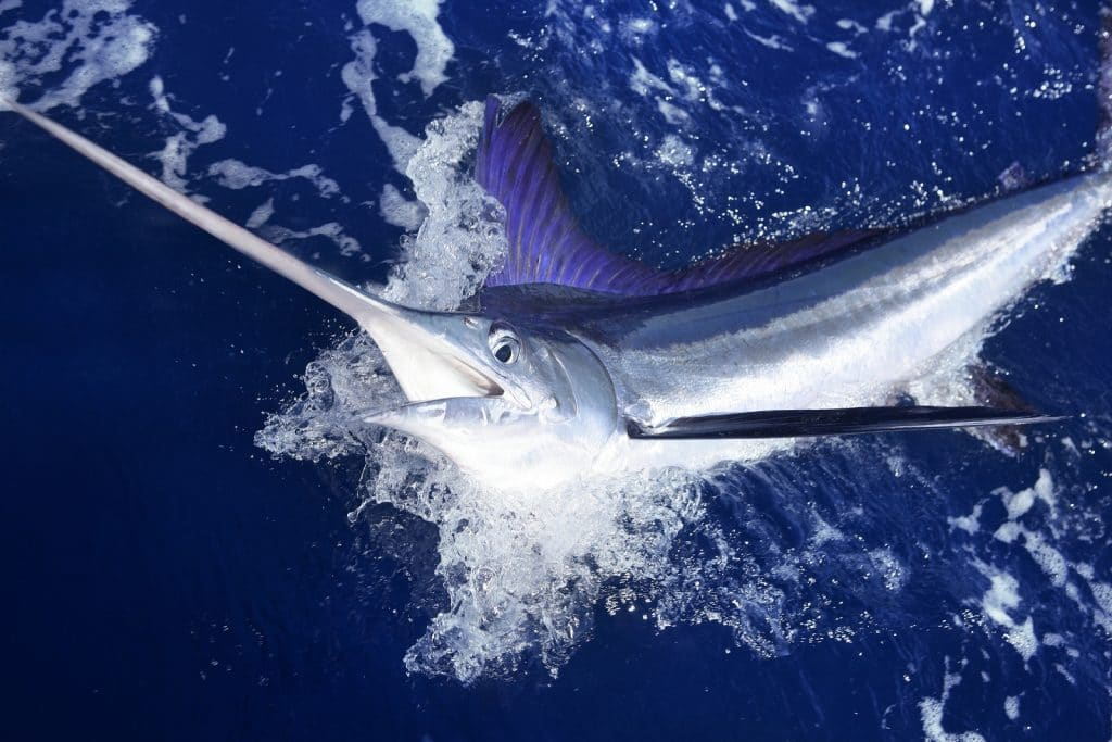Atlantic white marlin by Grand Solmar Vacation Club